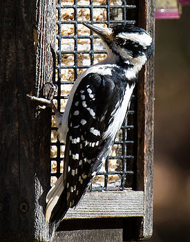 Female Hairy Woodpecker by Robert L Jackson