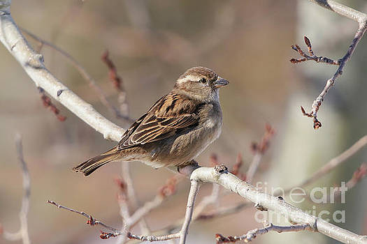 Female House Sparrow by Alyce Taylor