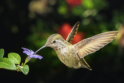 Female hummingbird and a small blue flower left angled view by William Lee