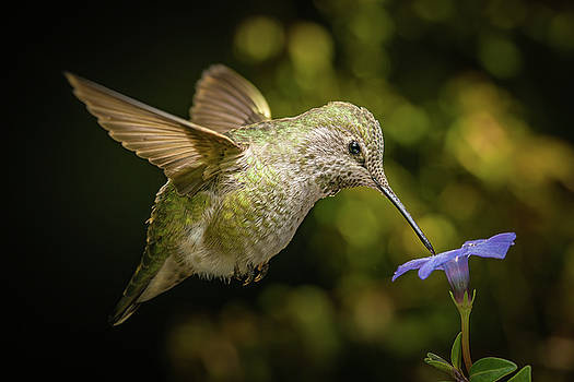 Female hummingbird and a small blue flower by William Lee