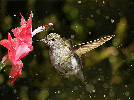 Female hummingbird visits flower in snow storm by William Lee