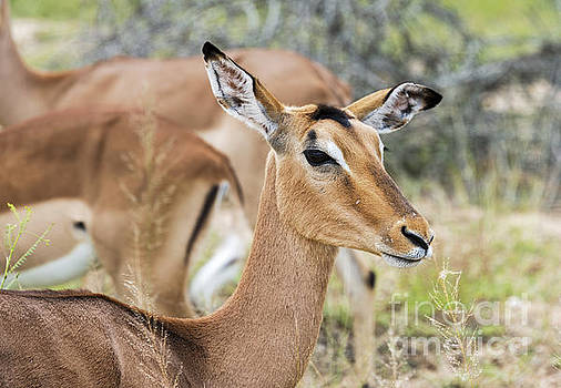 Compuinfoto  - female impala