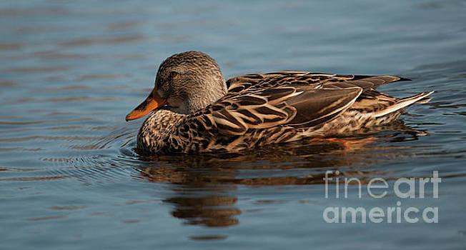 Female Mallard Duck Call by Dale Powell