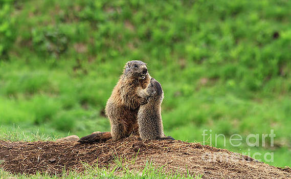 Female marmot with young by Antonio Scarpi