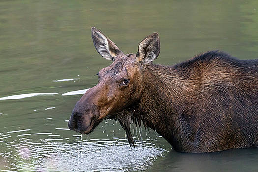 Female Moose Head by James BO Insogna