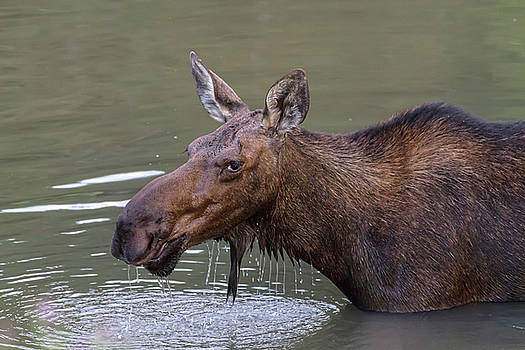 Female Moose Head Shot by James BO Insogna