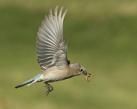 Female Mountain Bluebird with Grub Worm by Lois Lake