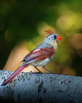 Female Northern Cardinal by Bob Orsillo