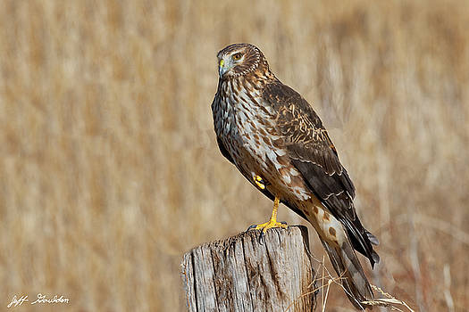 Female Northern Harrier Standing on One Leg by Jeff Goulden