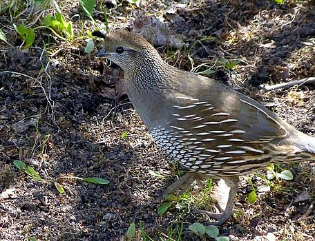 Female Quail by Will Borden