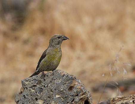 Female Red Crossbill by Doug Lloyd