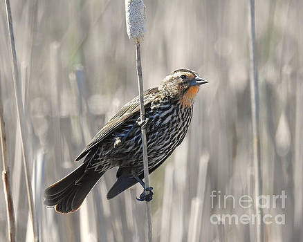 Female Red-winged Blackbird by Kathy M Krause