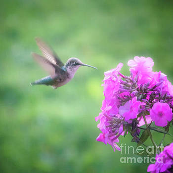Female Ruby Throated Hummingbird by Silken Photography
