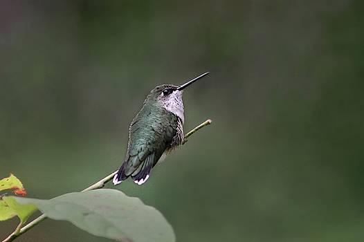 Hummingbird by William Tanneberger