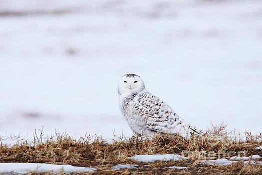 Female Snowy Owl by Alyce Taylor