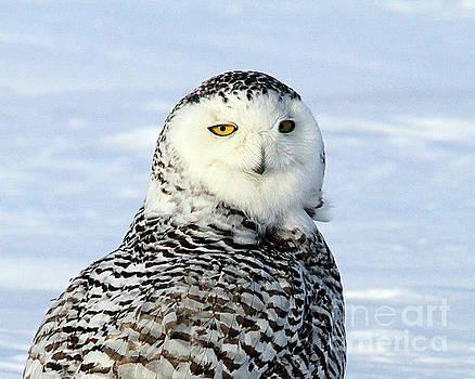 Female Snowy Owl by Paula Guttilla