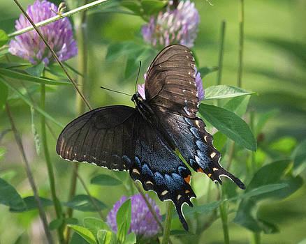 Female Tiger Swallowtail by Deb Henman