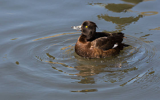 Dee Carpenter - Female Tufted Duck