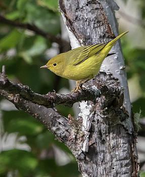Dee Carpenter - Female Yellow Warebler