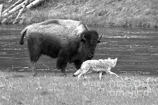 Adam Jewell - Fending Off The Aggressive Coyote Black And White