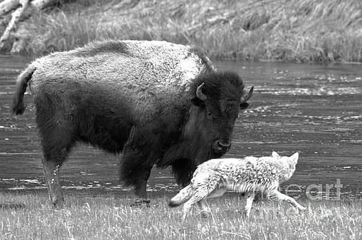 Adam Jewell - Fending Off The Coyote Black And White