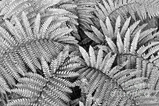 Fer fronds in Black and White by John  Mitchell