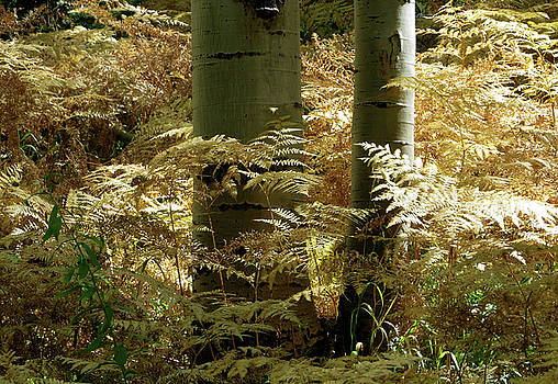 Ferns and Aspens by Carol Milisen