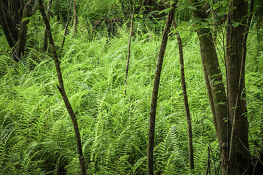 Ferns at Crowley by Richard Goldman