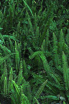 Kathi Shotwell - Ferns