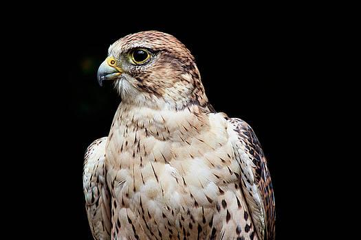 Peggy Collins - Ferruginous Hawk Bird of Prey