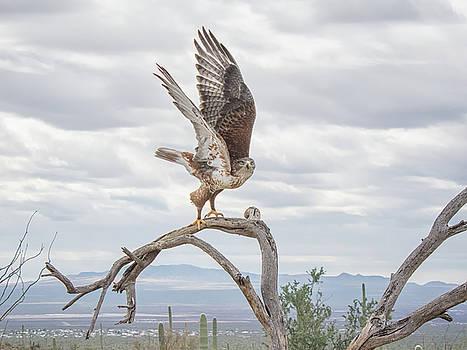 Tam Ryan - Ferruginous Hawk
