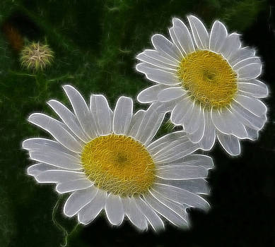 Field Daisies by Julie Grace