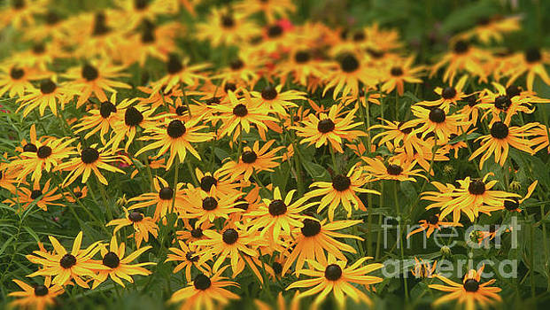 Field of Black-eyed Susans by Dave Nevue