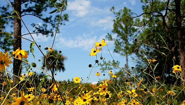 Field of Daisies at Corkscrew Swamp by Sheryl Unwin