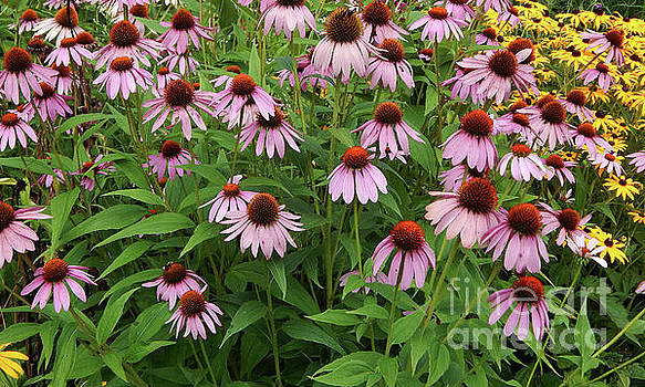 Field of Echinacea by Dave Nevue