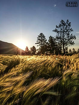Field of Gold by Niko Lancaster