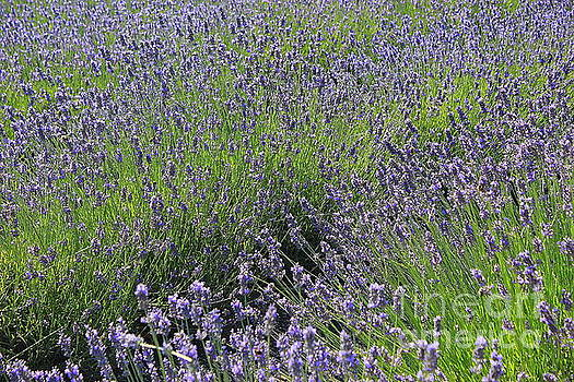 Field of Lavender Blue by Dora Sofia Caputo Photographic Art and Design