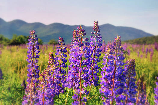Field Of Lupines - Sugar Hill, New Hmpshire by Joann Vitali