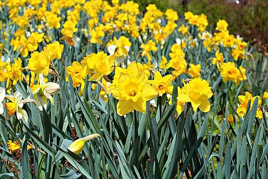 Andrew Davis - Field of Mostly Yellow and Some White Daffodils