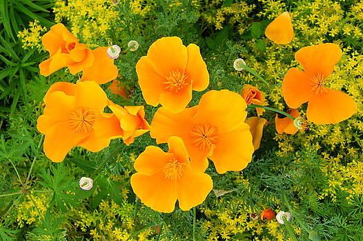 Field of Orange Petals by Billie Jean Lamb