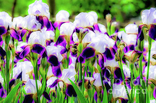 Field of purple white bearded irises artistic rendering by Jeffery Johnson