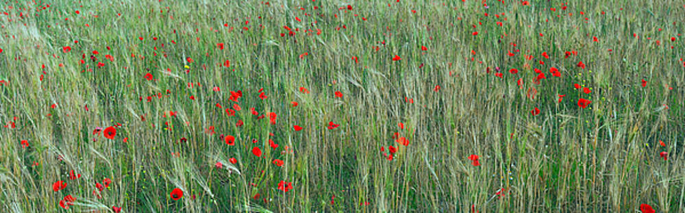 Field of red poppies panoramic photograph 70 degrees by Vassilis Triantafyllidis