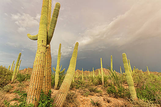 Field of Saguaros by Ryan Seek