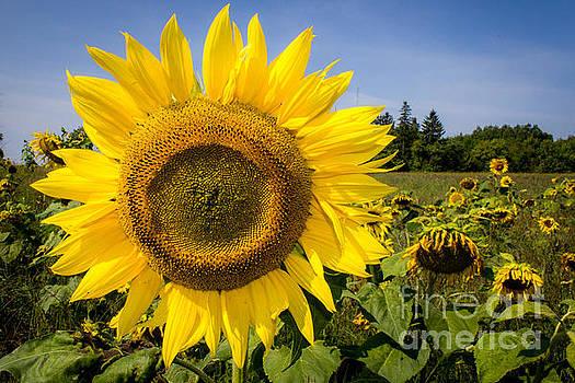 Field of Sunflowers 2 by Marj Dubeau