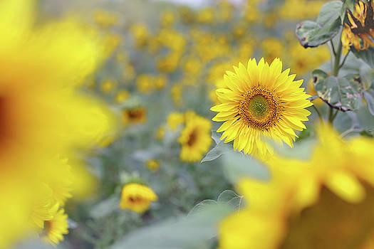 field of sunflowers by Iuliia Malivanchuk by Iuliia Malivanchuk