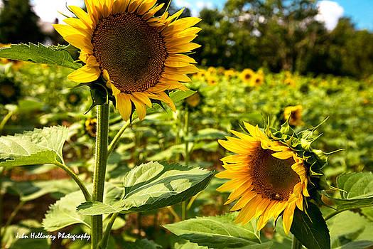 Field of Sunflowers by John Holloway