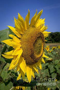 Field of Sunflowers by Marj Dubeau