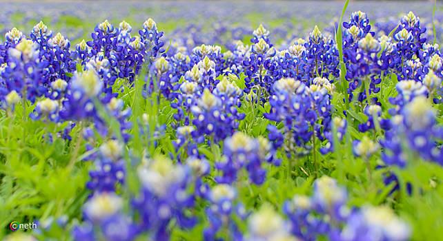 Field of Texas Bluebonnets by Cathy Neth
