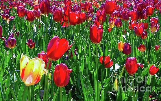 Tulip Garden by D Davila