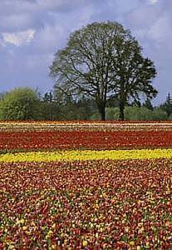 Field Of Tulips by Floyd Bond